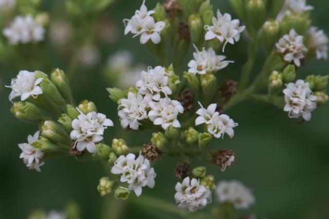 ステビア(Stevia rebaudiana)-01