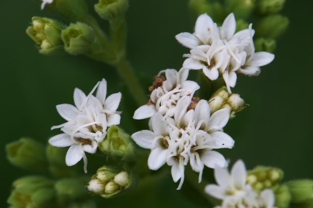 ステビア(Stevia rebaudiana)-02