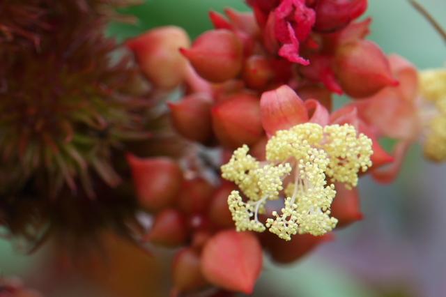 トウゴマ(Ricinus communis)-03