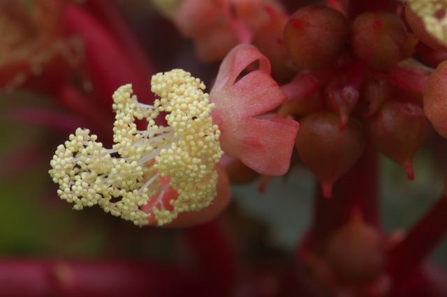 トウゴマ(Ricinus communis)-01