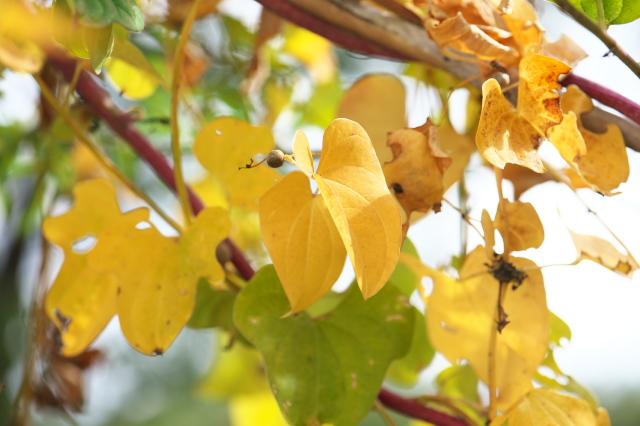 ヤマイモの黄葉-02