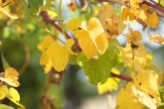ヤマイモの黄葉-01