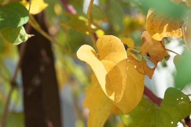 ヤマイモの黄葉-03