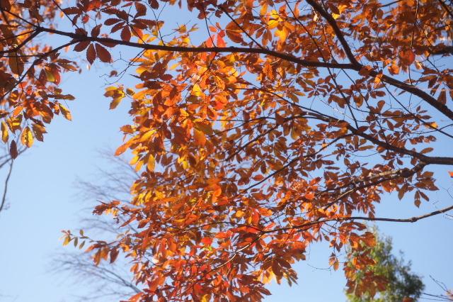コナラのオレンジ色した紅葉-02