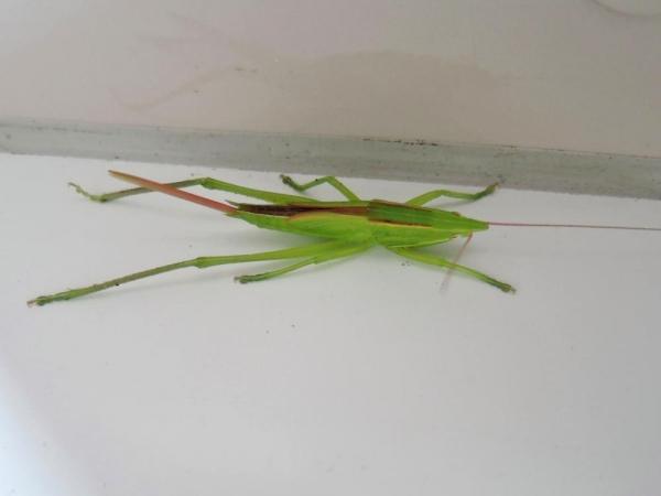 クビキリギス雌の幼虫