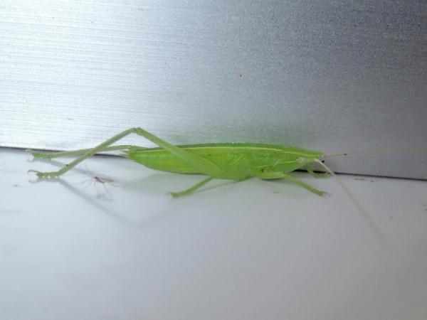 クビキリギス雄の幼虫