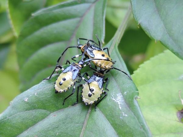 小集団のキバラヘリカメムシ