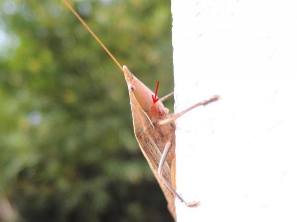 クビキリギス褐色型