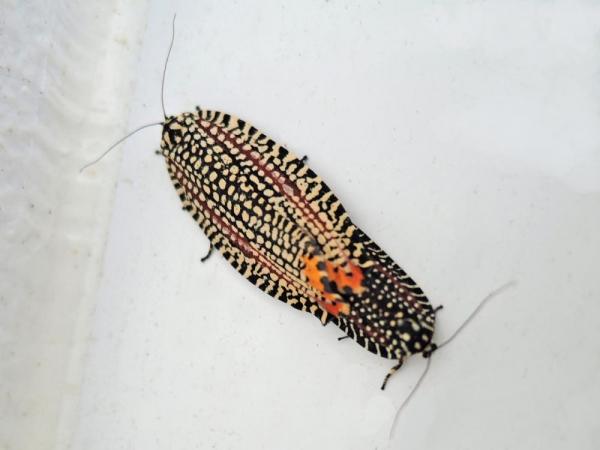 交尾中のビロードハマキ