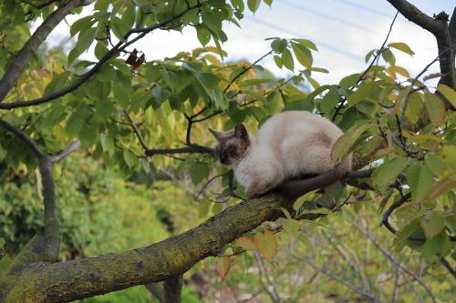 木の上のシャム猫