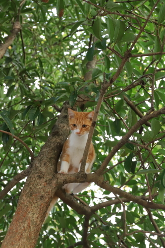 木登り茶白