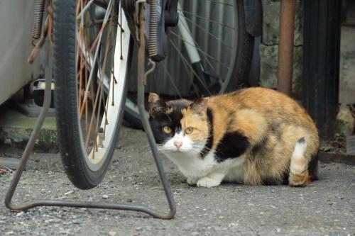 自転車ミケちゃん