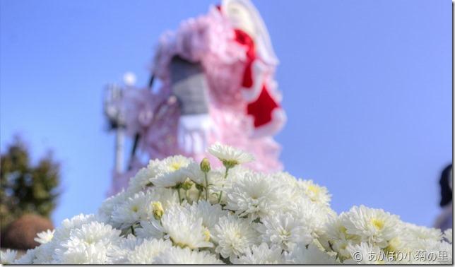 小菊の里、開花状況 (H29/10/27)