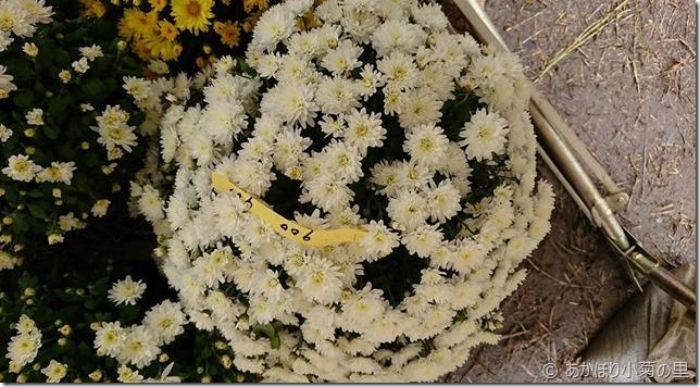 小菊の里、開花状況 (H29/10/29)