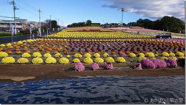 小菊の里、開花状況 (H29/11/11)