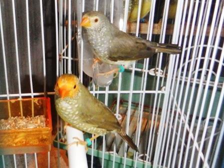 愛鳥コモンペア