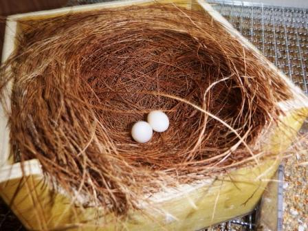 2個産卵1