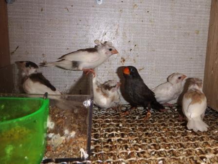 芸物巣立ち5羽1