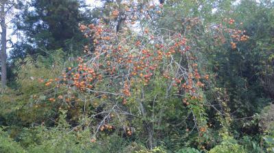 今年は柿の当たり年