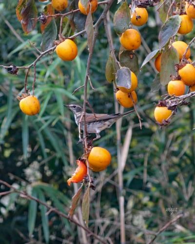 つぐみ柿m995A0136