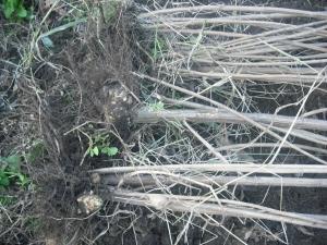 171126キクイモ収穫2