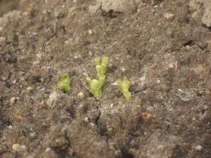 171224グリンピースの芽2