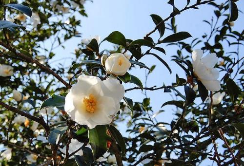 香川の保存木山茶花