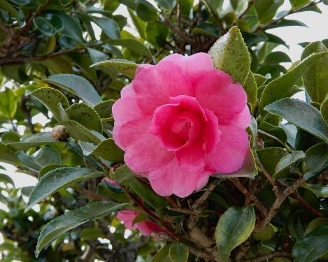 山茶花か咲きだしました。