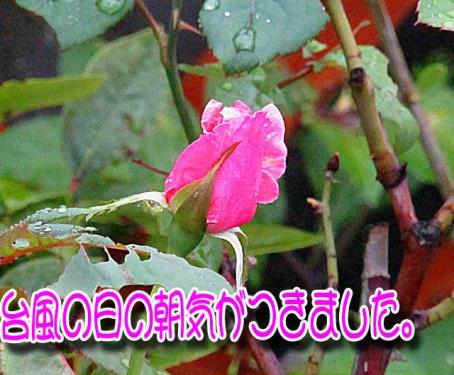 台風の日にバラが