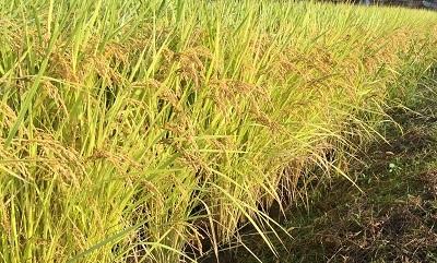 我が家自家製のお米、もうすぐ出来上がりです。