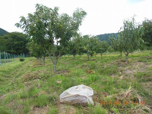 新植樹収穫