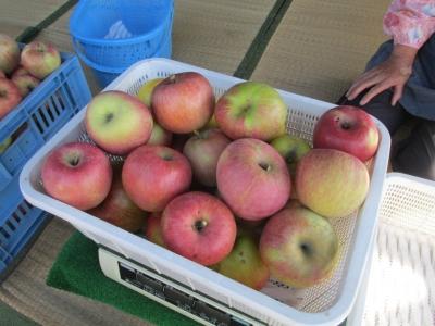 りんご収穫1