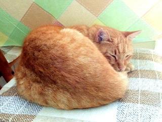 171007_4896 キッチンの椅子で寝てるトラ美ちゃんVGA