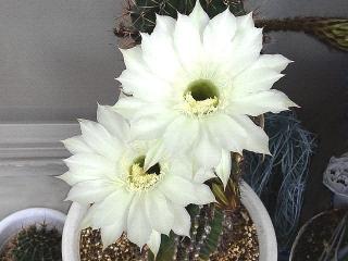 171029_4911 今朝の親サボテンの花VGA