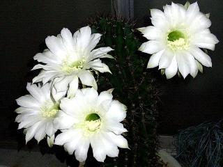 171029_4912 今夜開いた親サボテンの花VGA