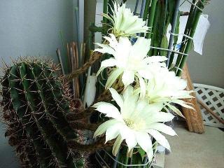 171030_4916 今朝の親サボテンの花(横から)VGA