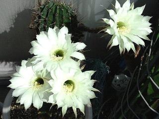 171030_4917 今朝の親サボテンの花VGA