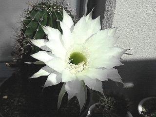 171030_4919 今朝の子サボテンの花zoomVGA
