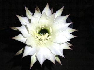 171030_4922 多分今年最後の子サボテンの花VGA