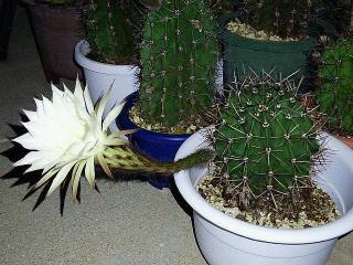 171030_4923 多分今年最後の子サボテンの花(横から)VGA