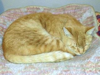 171212_5002 ホット座布団でうたた寝するトラ美ちゃん_VGA