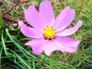 171113_800 家の周りの花壇に咲いていた秋桜