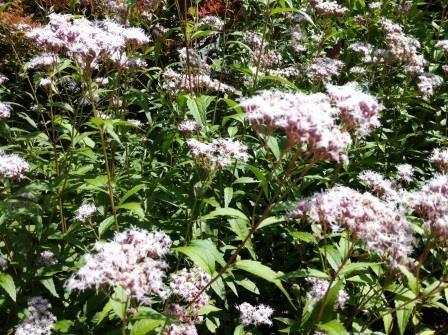 ぴんころの花