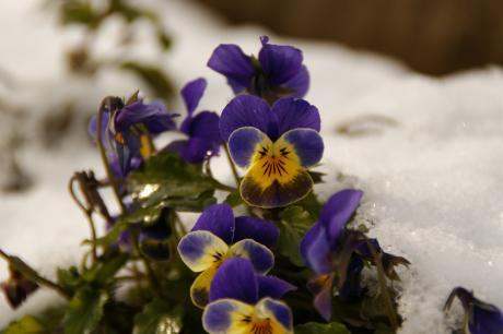 雪の中のビオラ-1