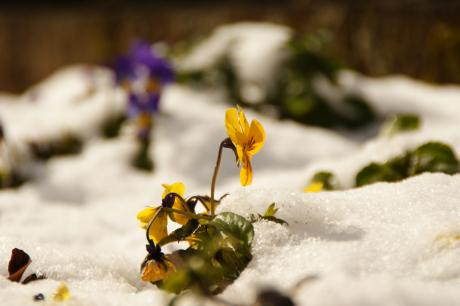 雪の中のビオラ-2