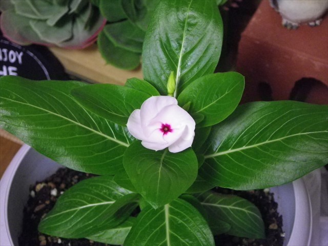 ニチニチソウの開花-5