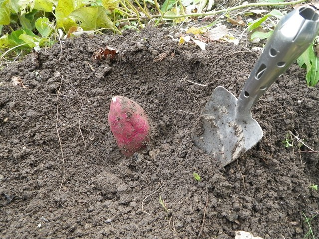 芋掘り-3