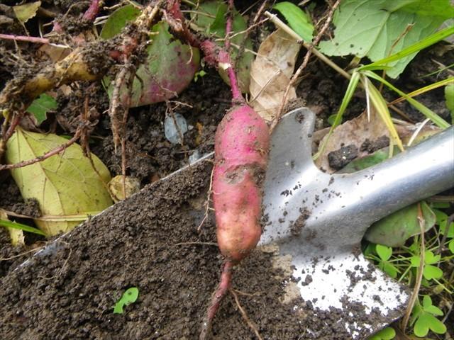 芋掘り-5