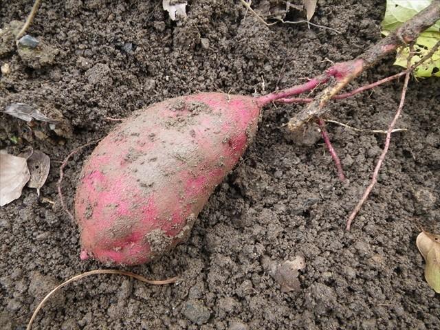 芋掘り-7