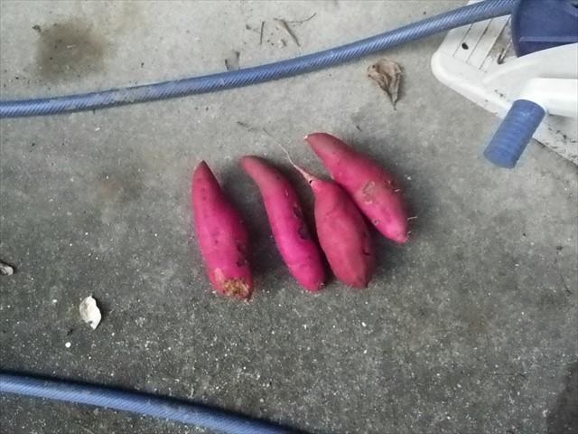 芋掘り-12